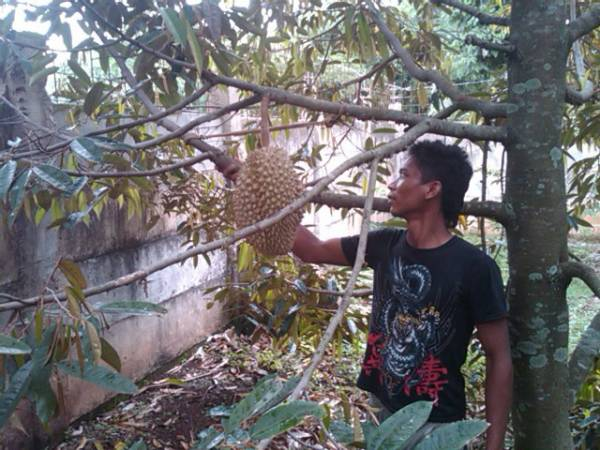 Gagal Panen Wisata Durian Sepi Pengunjung