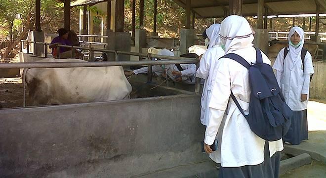 Praktik Teori Reproduksi Hewan, Murid Akselerasi SMAN 6 Cirebon Terjun Ke Kandang Sapi