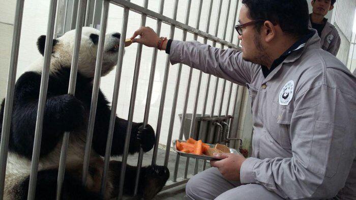 Ada Panda Raksasa China di Indonesia, Mau Lihat?