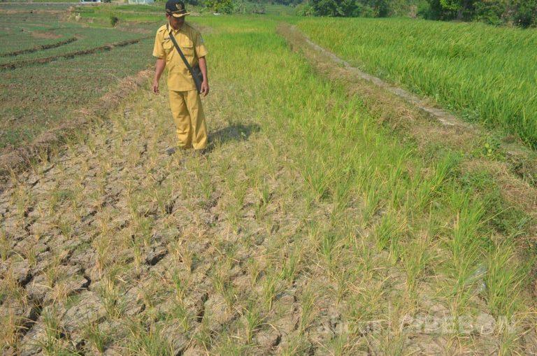 Belasan Hektar Sawah di Desa Sinarancang Gagal Panen