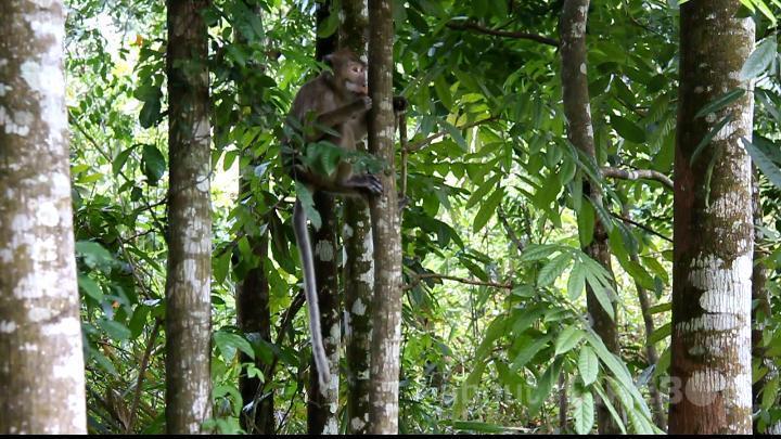 Kawanan Monyet Ekor Panjang Kerap Serang Pemukiman Warga dan Pertanian di Desa Cibereum Kabupaten Kuningan