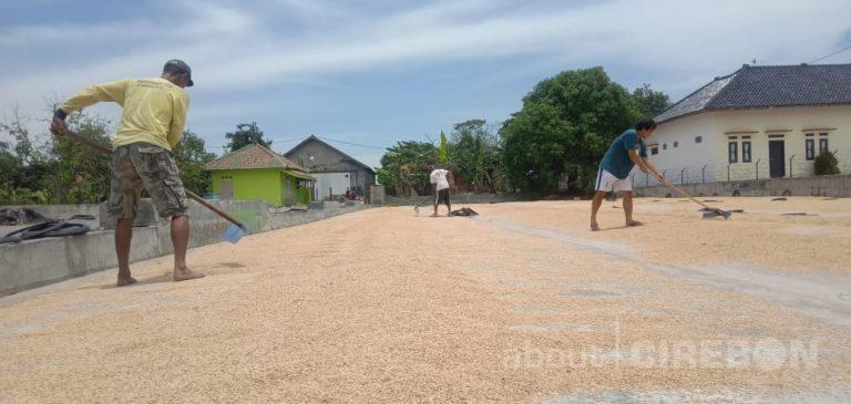 Musim Gadu, Harga Gabah Kering di Cirebon Alami Kenaikan